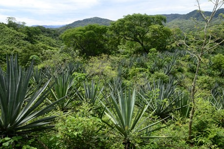 Rhodecantha and Angustifolia wild agaves